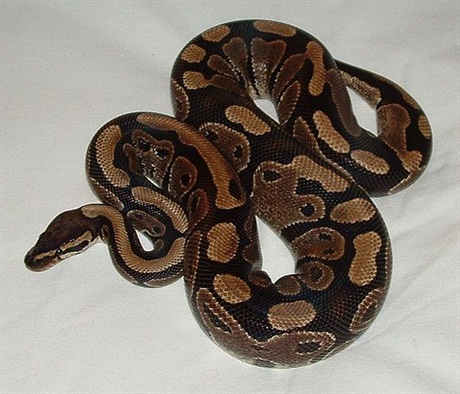 Two renters found a ball python in the trunk of their rental car. Photo courtesy of Wikimedia.
